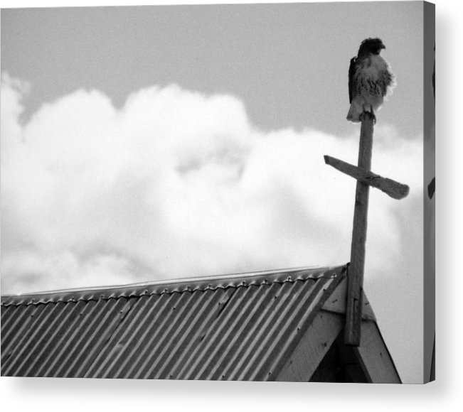 Hawk Acrylic Print featuring the photograph Young Hawk by Allan McConnell