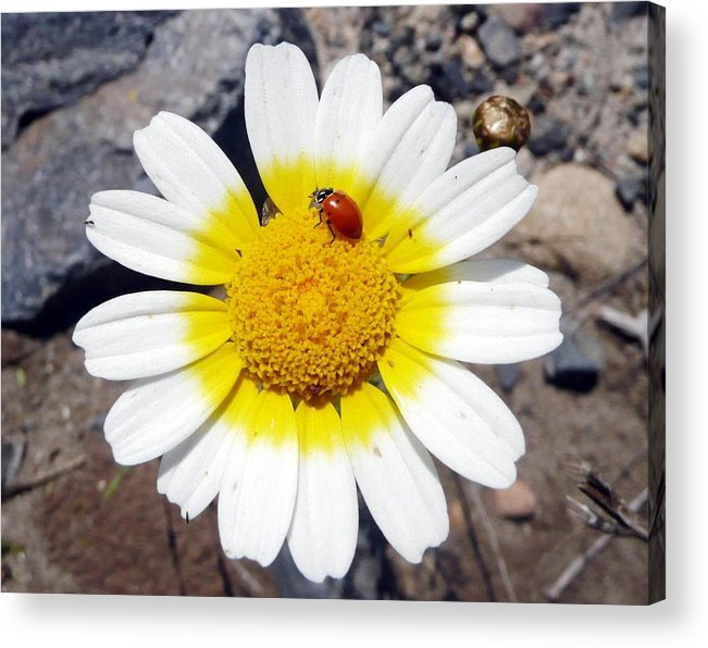 Flower Acrylic Print featuring the photograph Landed On The Sun by E White