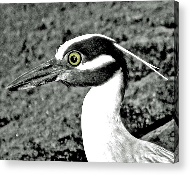 Birds.water Acrylic Print featuring the photograph Yellow Crowned Night Heron. by Jorge Gaete