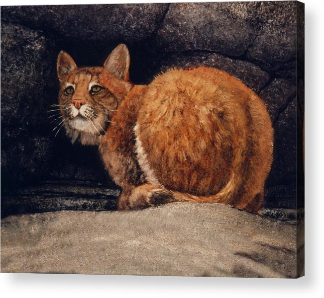 Wildlife Acrylic Print featuring the painting Bobcat On Ledge by Frank Wilson