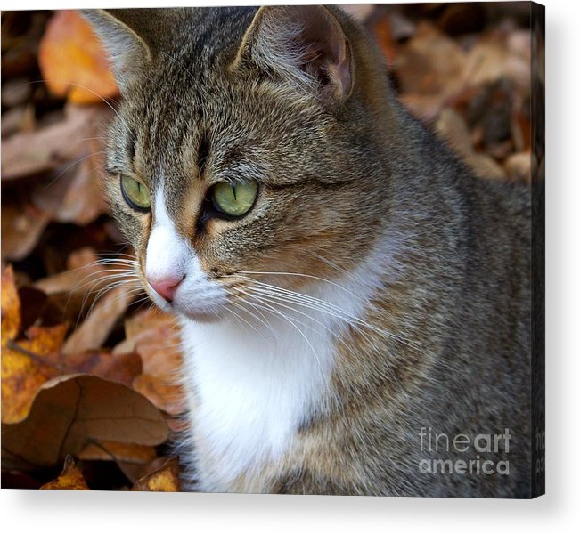 Cat Acrylic Print featuring the photograph Focused by Jai Johnson