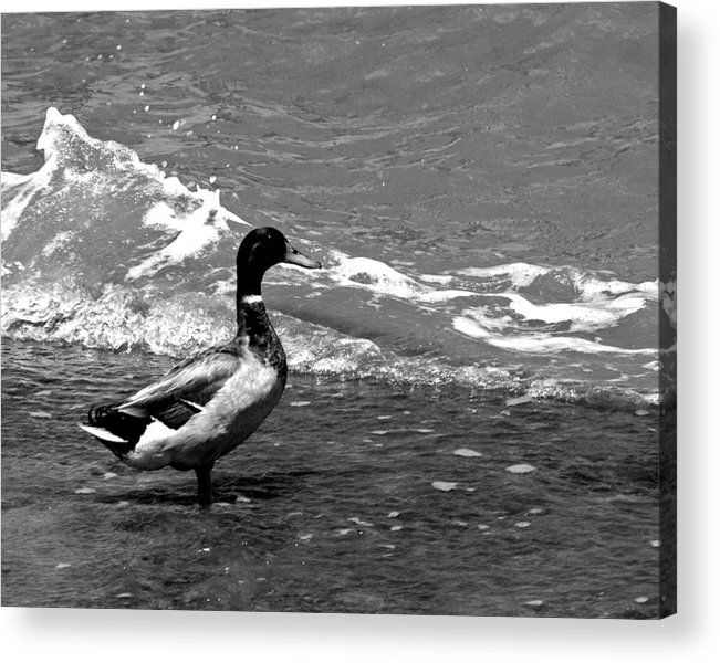 Duck Acrylic Print featuring the photograph Kemah Duck by Jorge Gaete