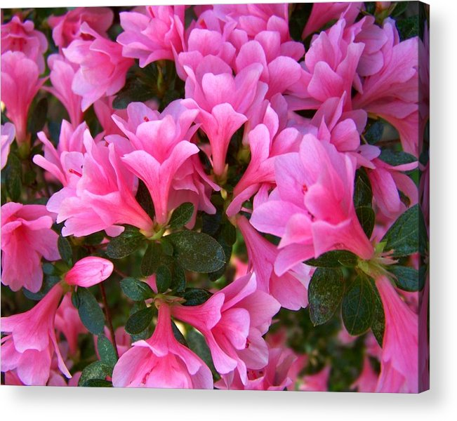 Pink Acrylic Print featuring the photograph Pink Azaleas Iv by Jai Johnson