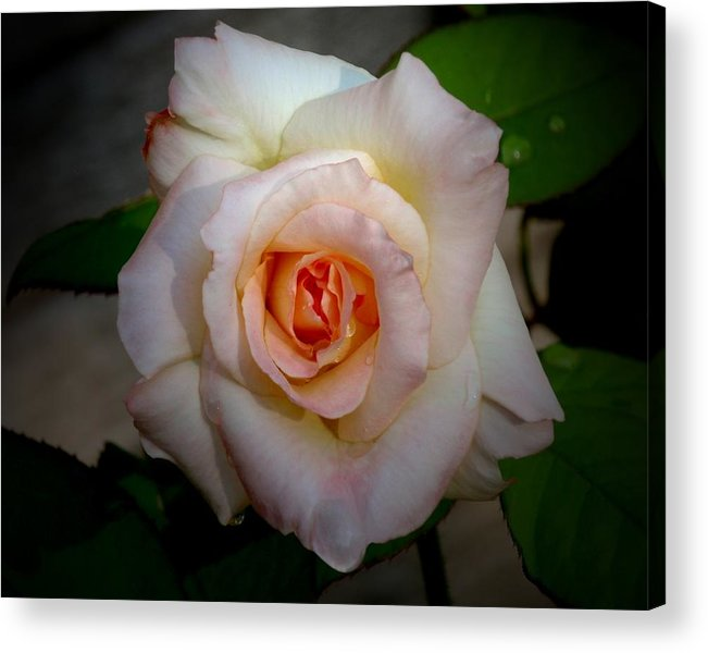 Rose Acrylic Print featuring the photograph Rose Blushing After Rain by B Nelson