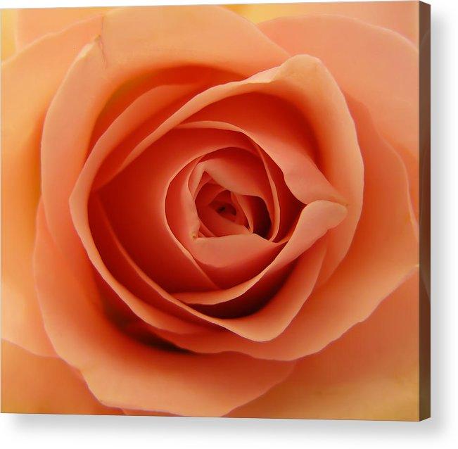 Rose Acrylic Print featuring the photograph Rose by Daniel Csoka
