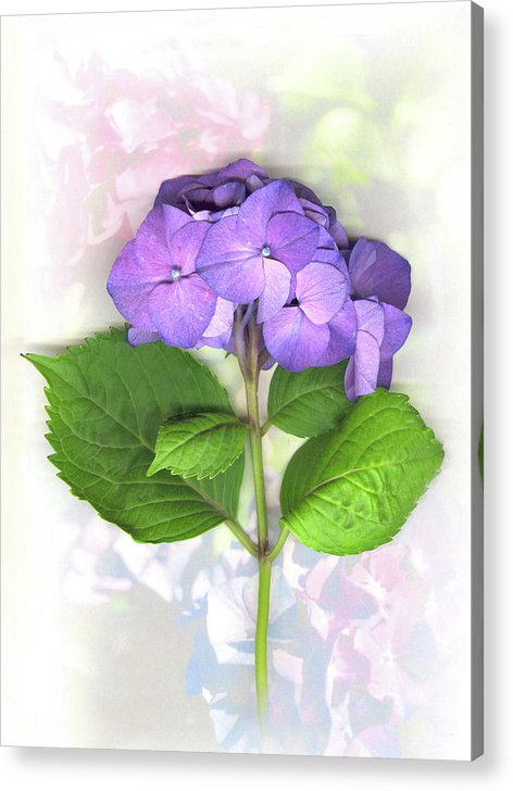 Purple Acrylic Print featuring the mixed media Purple Hydrangea by Sandi F Hutchins