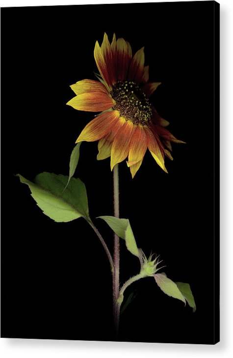 Acrylic Print featuring the photograph Sunflower With A View by Sandi F Hutchins