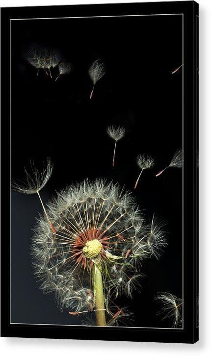 Flower Acrylic Print featuring the photograph Danelion Event by Richard Gordon