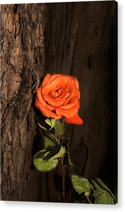 Rose Acrylic Print featuring the photograph Orange Sherbet And Hot Chocolate by Richard Gordon
