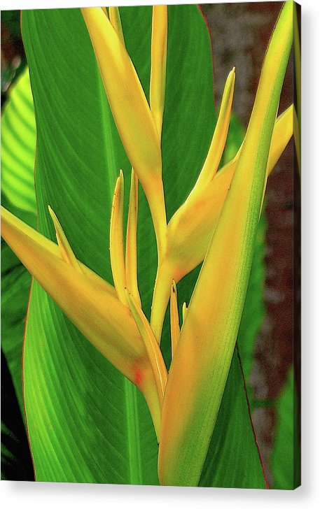 Hawaii Flowers Acrylic Print featuring the photograph Hawaii Golden Torch by James Temple