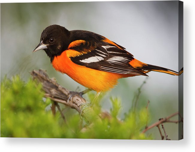 Adult Acrylic Print featuring the photograph Baltimore Oriole Foraging by Larry Ditto