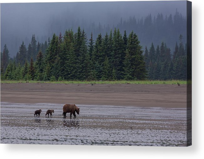 Brown Bear Acrylic Print featuring the photograph Brown Bear In Lake Clark National Park by Gavriel Jecan