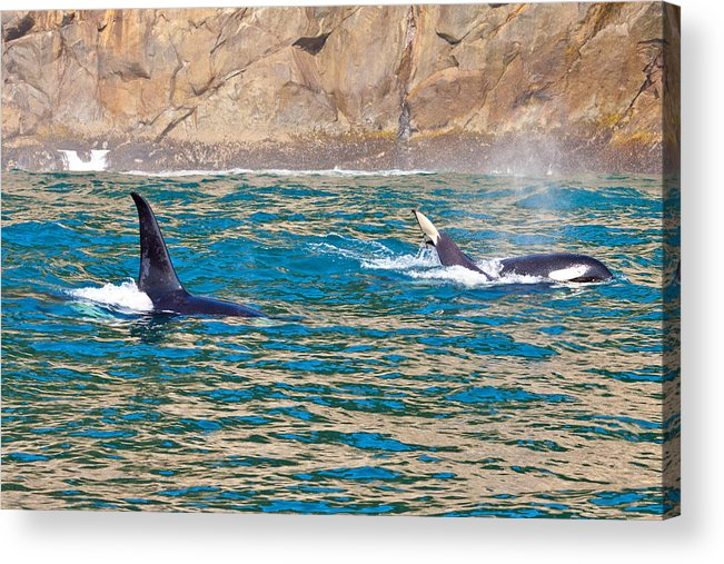 Acrylic Print featuring the photograph Killer Whale by Richard Jack-James