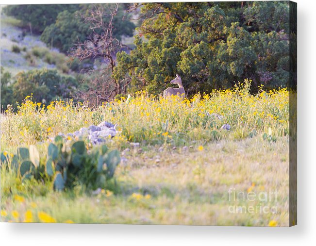 White-tailed Acrylic Print featuring the photograph Texas Hill Country by Andre Babiak