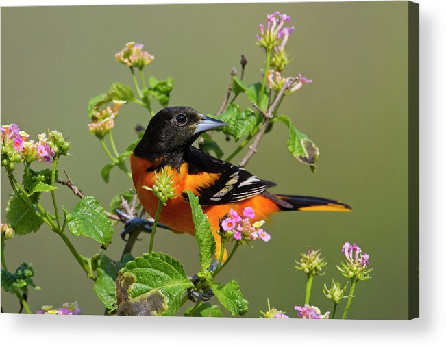 Adult Acrylic Print featuring the photograph Baltimore Oriole (icterus Galbula by Larry Ditto