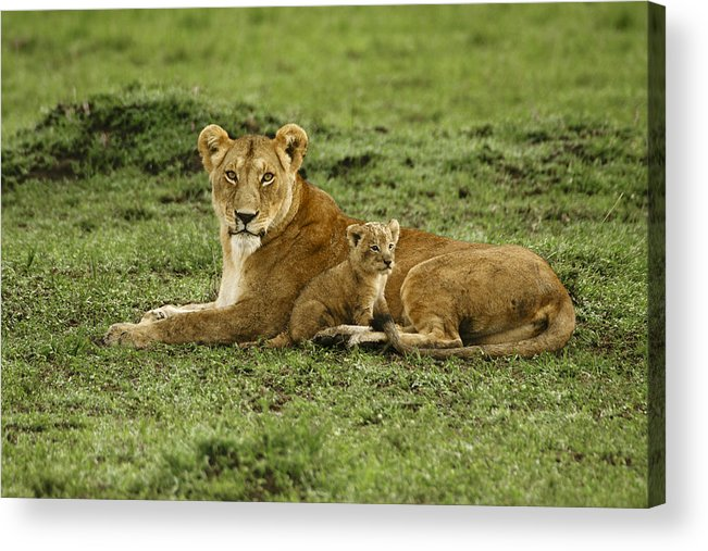 Lion Acrylic Print featuring the photograph Mama's Little Baby by Michele Burgess