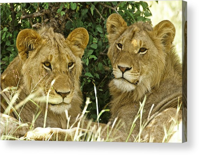 Lion Acrylic Print featuring the photograph Young Brothers by Michele Burgess