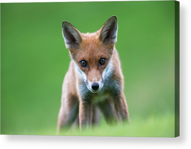Conspiracy Acrylic Print featuring the photograph Red Fox Cub Portrait by James Warwick