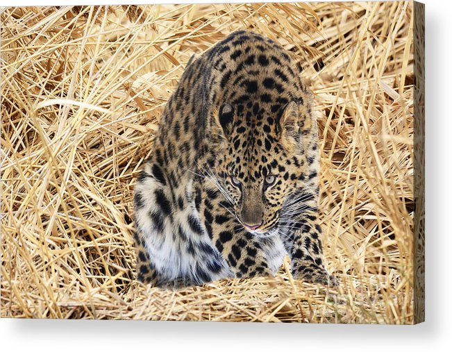 Leopard Acrylic Print featuring the photograph Ambush by Dennis Hammer