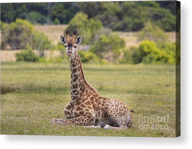 Baby Acrylic Print featuring the photograph Baby Series Giraffe by Jennifer Ludlum