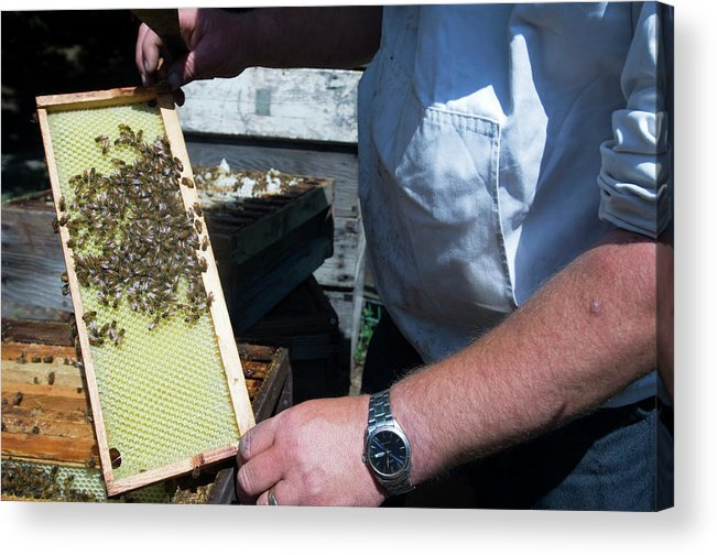Apis Mellifera Acrylic Print featuring the photograph Beekeeper Holding A Brood Frame by Louise Murray/science Photo Library