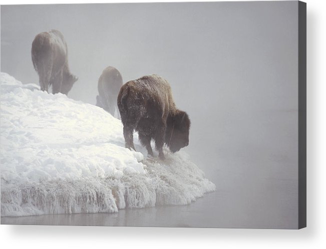 Feb0514 Acrylic Print featuring the photograph Bison Along Snowy Riverbank Yellowstone by Konrad Wothe