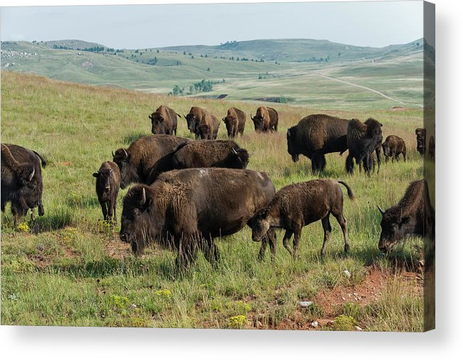 Grass Acrylic Print featuring the photograph Bison Buffalo In Wind Cave National Park by Mark Newman