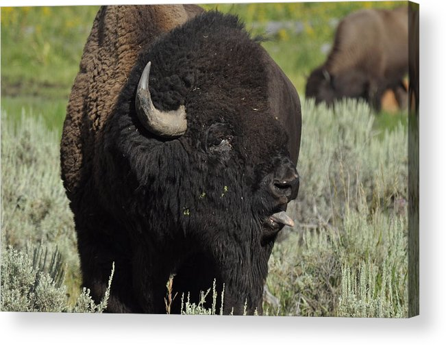 Bison Acrylic Print featuring the photograph Bison by Frank Madia