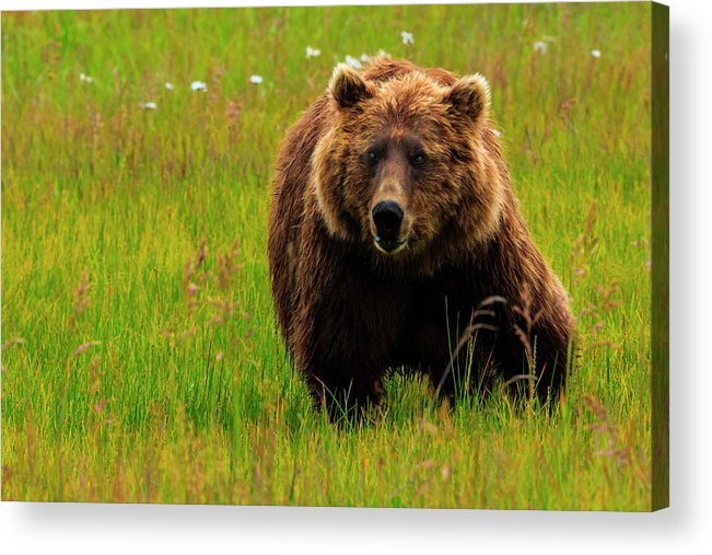 Brown Bear Acrylic Print featuring the photograph Brown Bear, Lake Clark National Park by Mint Images/ Art Wolfe