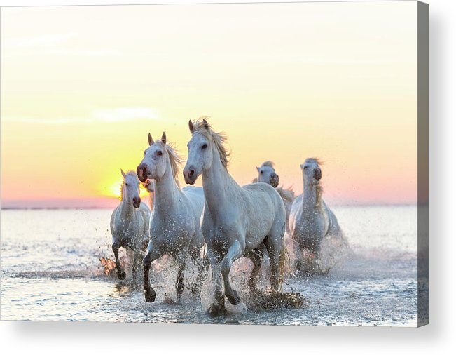 Animal Themes Acrylic Print featuring the photograph Camargue White Horses Running In Water by Peter Adams