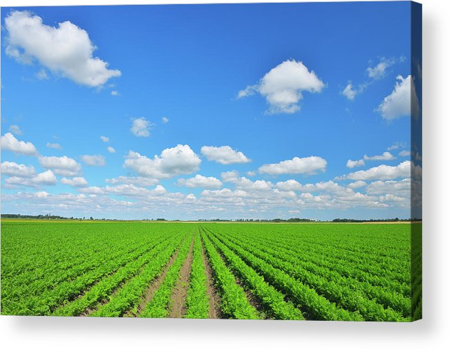 Tranquility Acrylic Print featuring the photograph Carrot Field by Raimund Linke