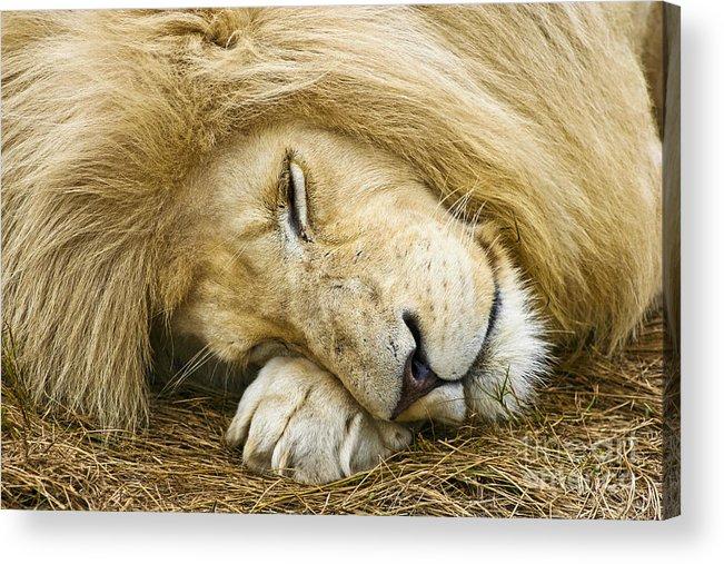 Lion Acrylic Print featuring the photograph Cat Nap by Jennifer Ludlum
