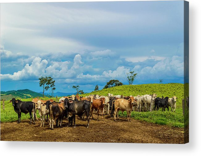 Grass Acrylic Print featuring the photograph Cattle by Kcris Ramos