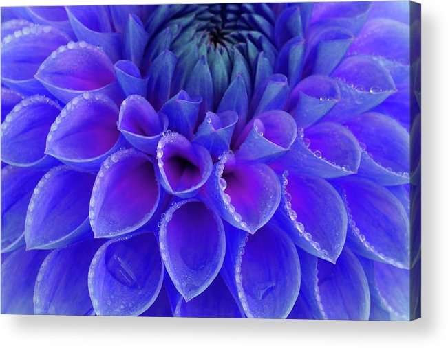 Haslemere Acrylic Print featuring the photograph Centre Of Blue And Purple Dahlia Flower by Rosemary Calvert