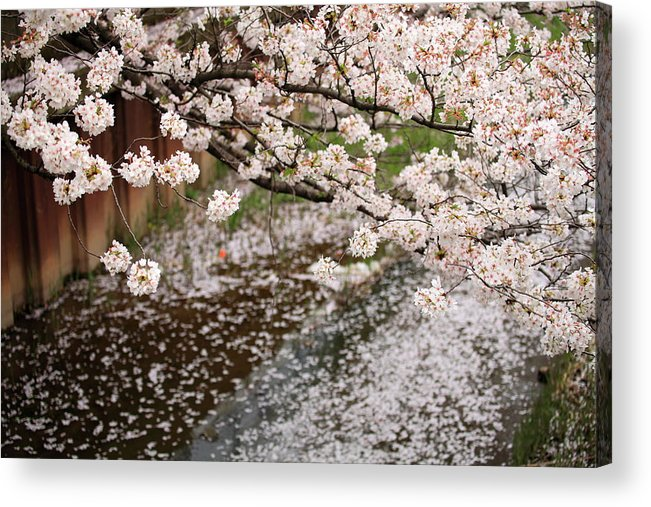 Season Acrylic Print featuring the photograph Cherry Blossoms by Photography By Zhangxun