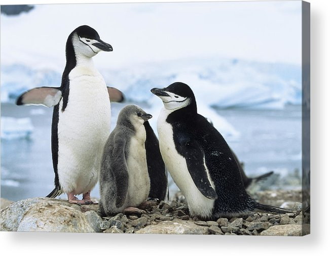 Feb0514 Acrylic Print featuring the photograph Chinstrap Penguins And Chicks Antarctica by Konrad Wothe