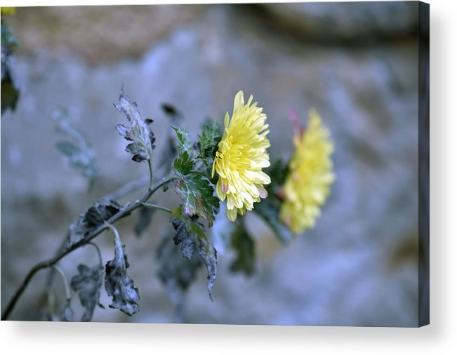 Abstract Acrylic Print featuring the photograph Chrysanthemum losing hope by Adrian Bud