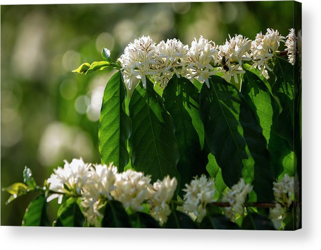 Hanging Acrylic Print featuring the photograph Coffee Coffea Arabia Blossoms, Kona by Alvis Upitis