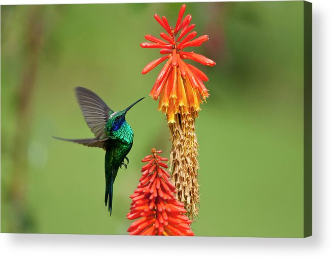 Animal Themes Acrylic Print featuring the photograph Colibri Coruscans by Photo By Priscilla Burcher