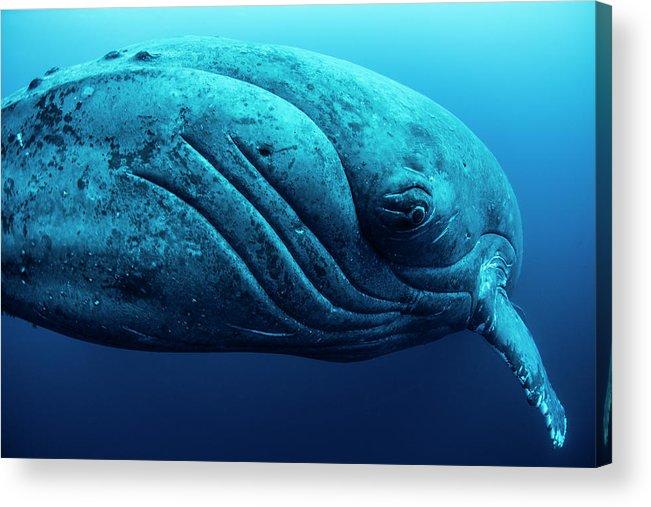 Underwater Acrylic Print featuring the photograph Curious Female Humpback Whale, Closeup by Rodrigo Friscione