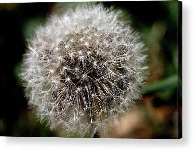 Dandelion Acrylic Print featuring the photograph Death's Beauty by Candice Trimble