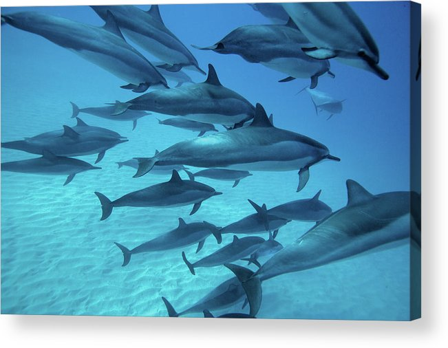 Underwater Acrylic Print featuring the photograph Dolphins Spinners by M Swiet Productions
