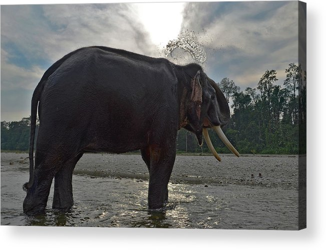 Animal Themes Acrylic Print featuring the photograph Elephant Taking A Shower On Its Own by Photograph By Anindya Sankar Dey
