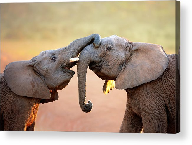 Elephant Acrylic Print featuring the photograph Elephants touching each other by Johan Swanepoel