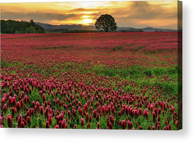 Scenics Acrylic Print featuring the photograph Field Of Crimson Clover With Lone Oak by Jason Harris