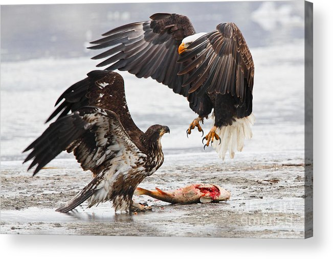Bald Eagle Acrylic Print featuring the photograph Food Fight by Bill Singleton