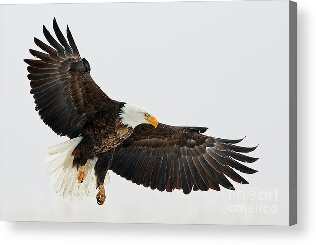 Eagles Acrylic Print featuring the photograph Free Fallin by Bill Singleton