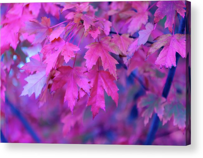 Tranquility Acrylic Print featuring the photograph Full Frame Of Maple Leaves In Pink And by Noelia Ramon - Tellinglife