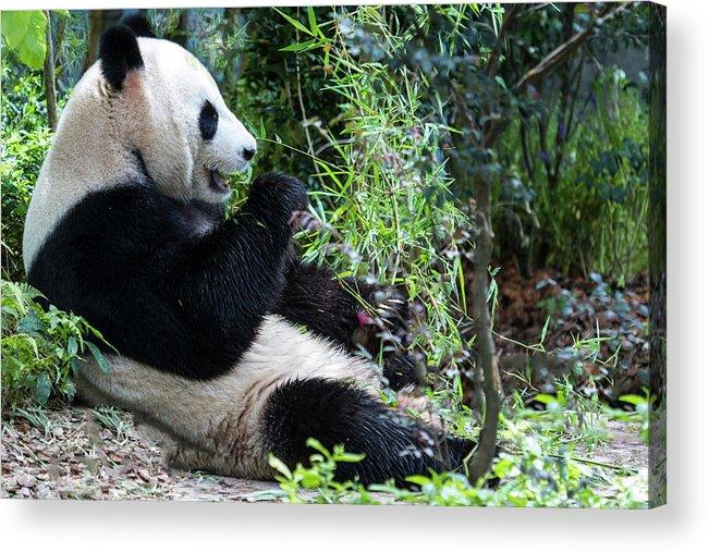 Panda Acrylic Print featuring the photograph Giant Panda by Manoj Shah