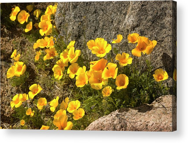 Chihuahua Desert Acrylic Print featuring the photograph Golden Poppies Among Rocks by Elflacodelnorte